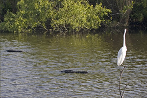 Egret and Gators