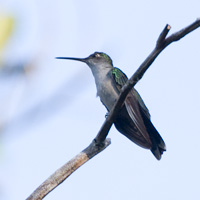 Gray-breasted Sabrewing
