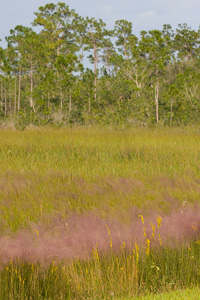 Muhly and Pines