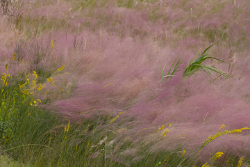 Muhly in Wind