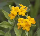 [Hoary Puccoon]
