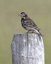 [Chestnut-collared Longspur]