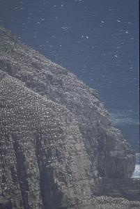 [Gannet Colony]