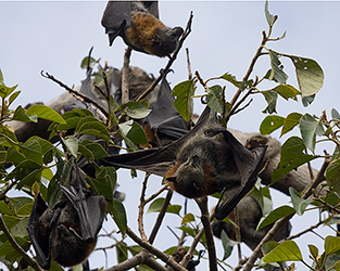 Roosting Flying-foxes