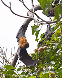 Gray-headed Flying-foxes